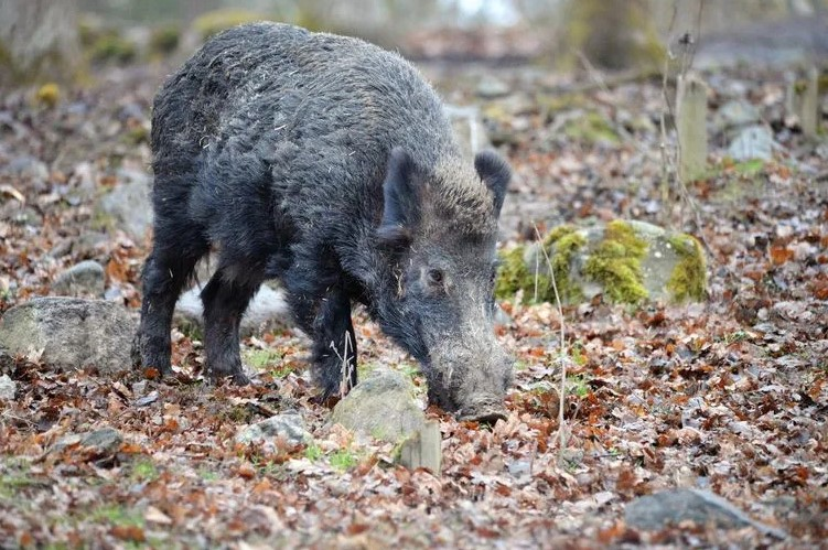 Five Hot Tips for Spring Wild Boar Hunting